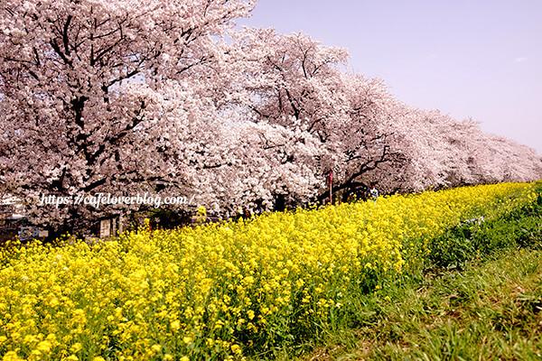 桜と菜の花が楽しめます